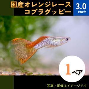 (熱帯魚・メダカ・グッピー)国産オレンジレースコブラグッピー  1ペア