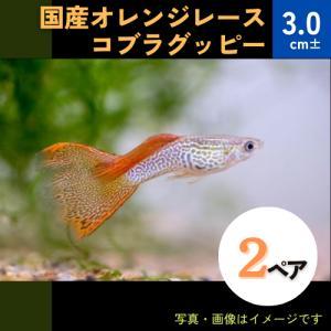 (熱帯魚・メダカ・グッピー)国産オレンジレースコブラグッピー  2ペア