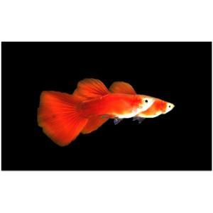 (熱帯魚・メダカ・グッピー)国産ゴールデンフルレッドグッピー  2ペア|mame-store