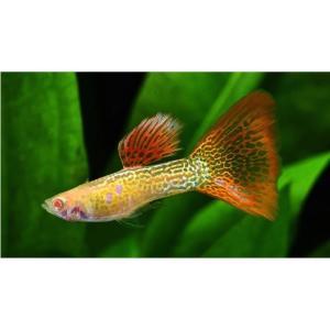 (熱帯魚・メダカ・グッピー)国産RREAオレンジレースコブラグッピー  1ペア|mame-store
