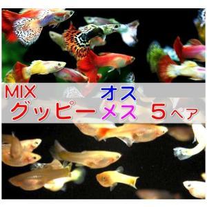 (熱帯魚・メダカ・グッピー) ミックスグッピー 5ペア (スリランカ産)|mame-store