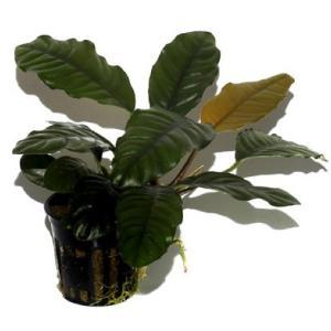 (Tropica・水草) アヌビアスバルテリーコーヒーフォリア(3POT)|mame-store