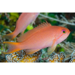 (海水魚・ハナダイ) キンギョハナダイ メス 5cm± 2匹 mame-store