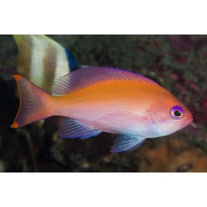 (海水魚・ハナダイ) ケラマハナダイ 5cm± 1匹 mame-store
