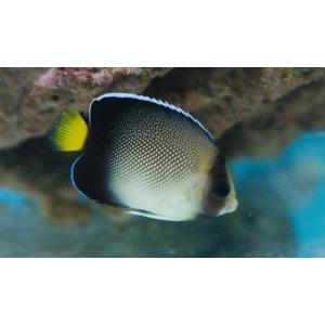(海水魚・スズメダイ) クロシテンヤッコ  10cm± 2匹|mame-store