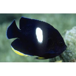 (海水魚・スズメダイ) アブラヤッコ  5cm± 3匹|mame-store