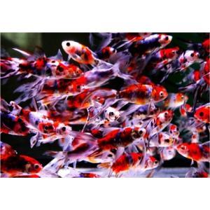 【研究用納品実績有り・金魚】 朱文金 6.5〜7.5cm 500匹|mame-store
