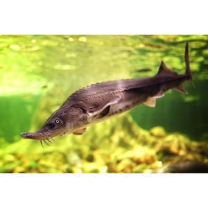 【研究用納品】バイカルチョウザメ 10−14 1匹|mame-store