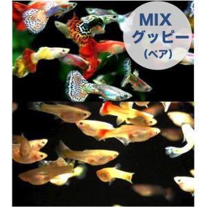 【研究向け魚類】 グッピー(ペア)  ※スリランカファーム  3.5〜4.0cm  50ペア|mame-store