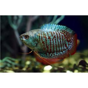 【研究向け魚類】 ネオンドワーフ・グラミー(ペア) アダルトサイズ 3ペア|mame-store