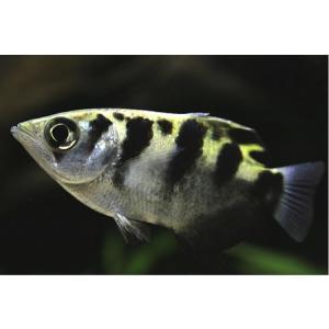 【研究向け魚類】 テッポウウオ(セブンスポットアーチャーフィッシュ) 5〜6cm 2匹 mame-store