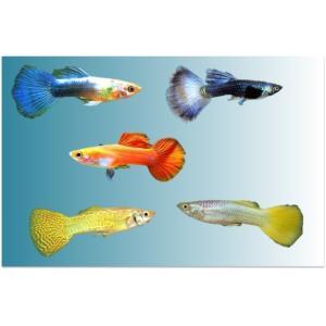 (熱帯魚・メダカ・グッピー)ミックスグッピー 各色おまかせ オス10匹(スリランカ産)|mame-store