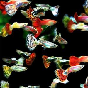 (熱帯魚・メダカ・グッピー)ミックスグッピー 各色おまかせ オス50匹(スリランカ産) mame-store