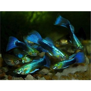 (熱帯魚・メダカ・グッピー)ネオンタキシードグッピー  オス 10匹(スリランカ産)|mame-store