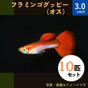 (熱帯魚・メダカ・グッピー)フラミンゴグッピー  オス 10匹(スリランカ産)|mame-store
