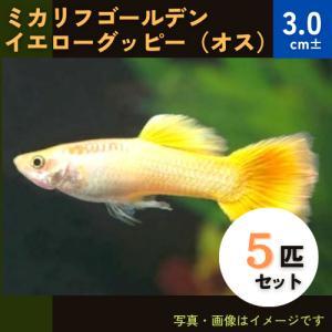 (熱帯魚・メダカ・グッピー)ミカリフゴールデンイエローグッピー  オス 5匹(スリランカ産)|mame-store