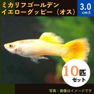 (熱帯魚・メダカ・グッピー)ミカリフゴールデンイエローグッピー  オス 10匹(スリランカ産)|mame-store