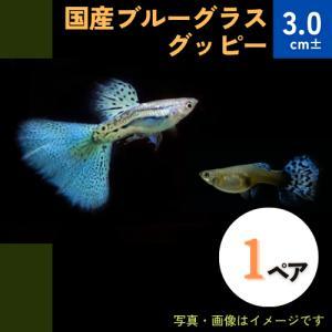 (熱帯魚・メダカ・グッピー)国産ブルーグラスグッピー  1ペア|mame-store