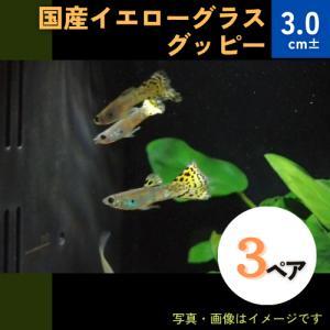 (熱帯魚・メダカ・グッピー)国産イエローグラスグッピー  3ペア|mame-store