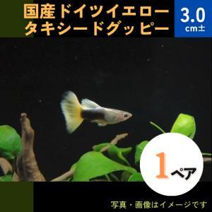 (熱帯魚・メダカ・グッピー)国産ドイツイエロータキシードグッピー  1ペア|mame-store