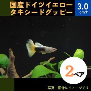 (熱帯魚・メダカ・グッピー)国産ドイツイエロータキシードグッピー  2ペア|mame-store