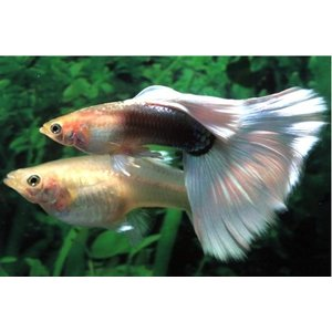 (熱帯魚・メダカ・グッピー)国産ドイツイエロータキシードグッピー  5ペア|mame-store