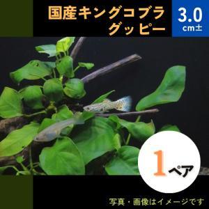 (熱帯魚・メダカ・グッピー)国産キングコブラグッピー  1ペア|mame-store