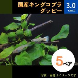 (熱帯魚・メダカ・グッピー)国産キングコブラグッピー  5ペア|mame-store