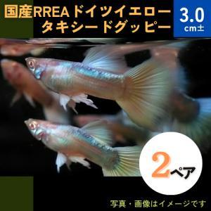 (熱帯魚・メダカ・グッピー)国産RREAドイツイエロータキシードグッピー  2ペア|mame-store