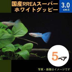 (熱帯魚・メダカ・グッピー)国産RREA スーパーホワイトグッピー  5ペア|mame-store