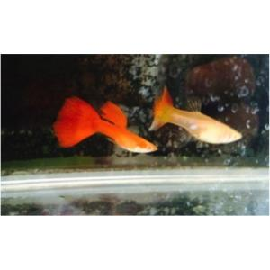 (熱帯魚・メダカ・グッピー)国産RREA フルレッドグッピー  1ペア|mame-store