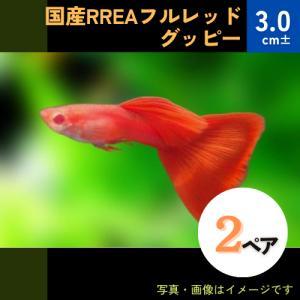 (熱帯魚・メダカ・グッピー)国産RREA フルレッドグッピー  2ペア|mame-store