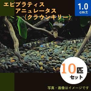 (熱帯魚・カダヤシ・メダカ)エピプラティス アニュレータス(クラウンキリー) MSサイズ 10匹|mame-store