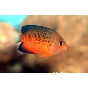 (海水魚・キンチャクダイ) アカハラヤッコ SMサイズ 1匹|mame-store
