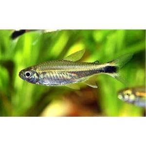 (熱帯魚・カラシン) ヒャニュアリー・テトラ SMサイズ 3匹|mame-store