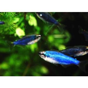 (熱帯魚・カラシン)インパクティスケリー・スーパーブルー 2.5cm± 4匹|mame-store