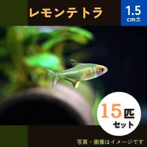 【熱帯魚・カラシン】レモンテトラ SMサイズ 20匹 mame-store