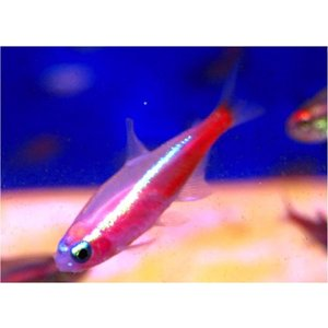 【熱帯魚・カラシン】ニューレッドゴールデンネオンテトラ SMサイズ 15匹|mame-store
