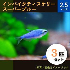 (熱帯魚・カラシン)インパクティスケリー・スーパーブルー 2.5cm± 3匹|mame-store