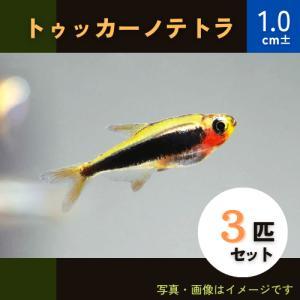 【熱帯魚・カラシン】トゥッカーノ・テトラ  MSサイズ 3匹|mame-store