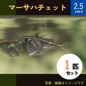 (熱帯魚・カラシン)マーサハチェット SMサイズ 3匹|mame-store