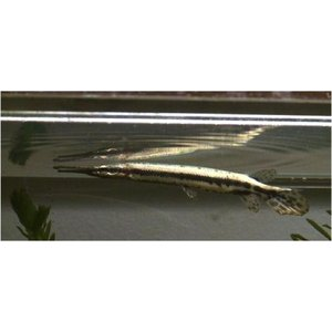 【研究向け魚類】スポテッドガー 6cm± 1匹 mame-store