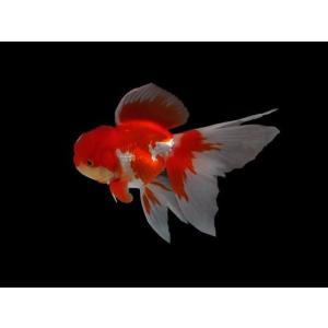 販売名:更紗オランダ L  サイズ8cm前後となります。  ※基本的に「メダカ」「金魚」に関してはフ...