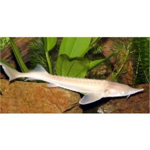 (熱帯魚・古代魚) アルビノコチョウザメ 9cm± 2匹 mame-store