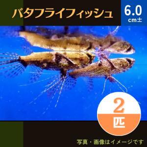 (熱帯魚・古代魚)バタフライフィッシュ 5cm± 2匹|mame-store