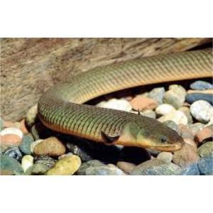 (熱帯魚・古代魚) アミメウナギ  23cm± 3匹 mame-store