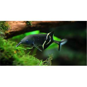 【古代魚・熱帯魚】エレファントノーズ 9cm± 2匹|mame-store
