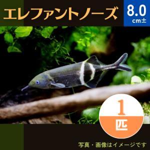 【古代魚・熱帯魚】エレファントノーズ 9cm± 3匹 mame-store