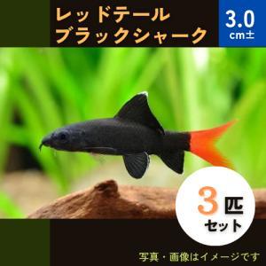 (熱帯魚・コイ)レッドテールブラックシャーク 4cm± 3匹|mame-store