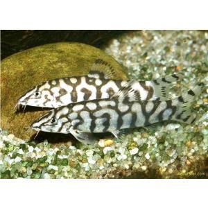 (熱帯魚・コイ)パキスタンローチ 3cm± 3匹|mame-store